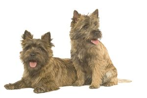 Dog - Cairn Terrier in studio
