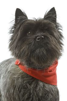 Dog - Cairn Terrier wearing handkerchief / neckerchief