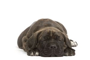 Dog - Cane Corso Dog (Italian Guard Dog) - lying down sleeping