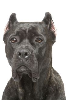 Dog - Cane Corso Dog (Italian Guard Dog)