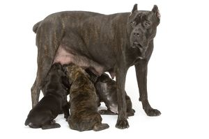 Dog - Cane Corso Dog (Italian Guard Dog) - mother with puppies suckling