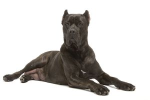 Dog - Cane Corso Dog (Italian Guard Dog) - lying down