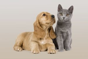 Dog & Cat - Cocker Spaniel puppy in studio with