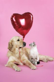 Dog and Cat - Golden Retriever and cat with heart balloon