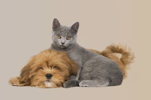 Dog & Cat - Lhassa Apso puppy with Chartreux Kitten