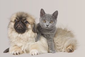 Dog & Cat - Pekingese puppy in studio with Chartreux kitten