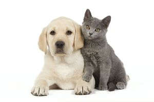 Dog and Cat - Yellow Labrador puppy with Chartreux kitten