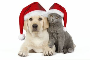 Dog and Cat - Yellow Labrador puppy with Chartreux kitten both wearing Christmas hats