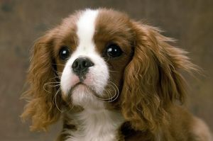 DOG - Cavalier King Charles Spaniel, close up of face