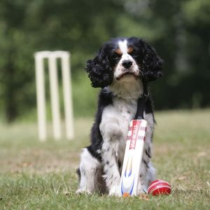 Dog - Cavalier King Charles spaniel with cricket bat and ball