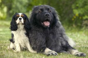 Dog - Cavalier King Charles Spaniel with Illyrian Sheepdog / Yugoslavian Shepherd