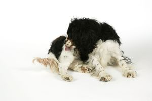 DOG - Cavalier King Charles Spaniel licking itself, grooming