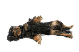 Dog - Cavalier King Charles Spaniel - lying on back in studio