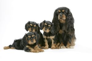 Dog - Cavalier King Charles Spaniel mother & puppies 6/7 weeks old