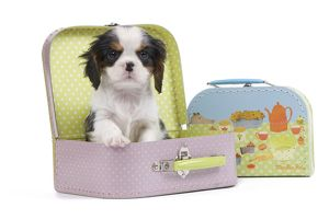 Dog - Cavalier King Charles Spaniel - in pink suitcase