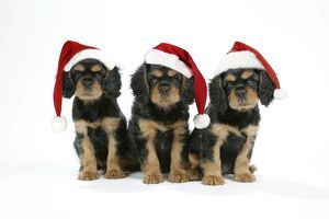 Dog - Cavalier King Charles Spaniel puppies 6/7 weeks old. Two wearing Christmas hats