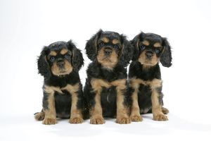 Dog - Cavalier King Charles Spaniel puppies 6/7 weeks old