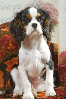 Dog - Cavalier King Charles Spaniel puppy