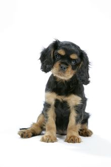Dog - Cavalier King Charles Spaniel puppy 6/7 weeks old wearing Christmas hat