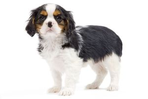 Dog - Cavalier King Charles Spaniel - in studio
