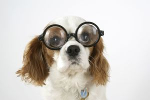 Dog - Cavalier King Charles Spaniel wearing joke magnifying glasses