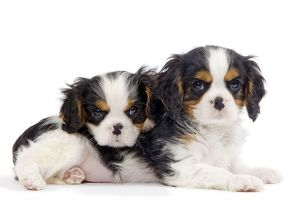 Dog - Cavalier King Charles Spaniels - in studio