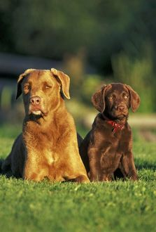 Dog - Chesapeake Bay Retriever and puppy together in grass