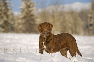 Dog - Chesapeake Bay Retriever standing in meadow in winter
