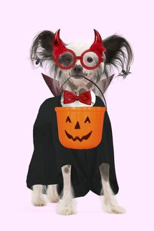 Dog - Chinese Crested Dog