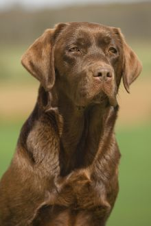 Dog - Chocolate Labrador outside