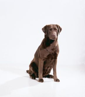 DOG - CHOCOLATE LABRADOR, sitting