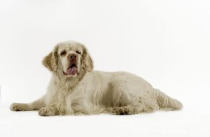 Dog - Clumber Spaniel, lying down