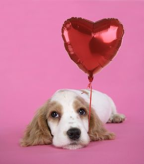 DOG. Cocker Spaniel puppy - with heart shaped balloon