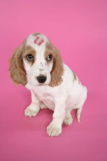 DOG. Cocker Spaniel puppy with 'kiss' on head