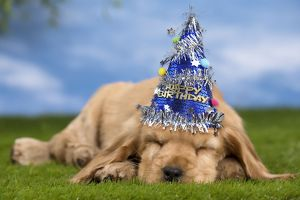 Dog Cocker Spaniel puppy sleeping wearing party hat