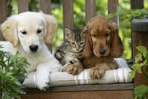 Dog - Cocker Spaniel sitting on bench with Golden Retriever puppy and tabby kitten