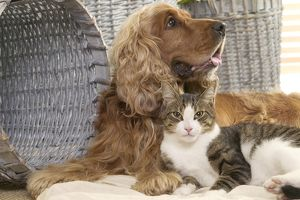 Dog - Cocker Spaniel with Tabby & White Cat