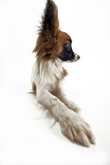 Dog - Continental Toy Spaniel: Papillon.