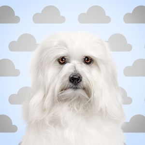 Dog - Coton de Tulear with cloud background