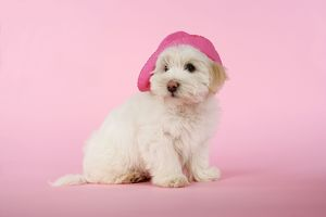 DOG - Coton de Tulear puppy (8 wks old) wearing a pink hat