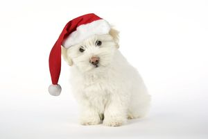 DOG - Coton de Tulear puppy ( 8 wks old ) wearing Christmas hat