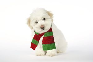 DOG - Coton de Tulear puppy ( 8 wks old ) wearing scarf.