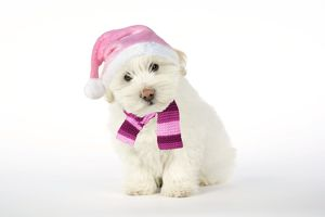 DOG - Coton de Tulear puppy ( 8 wks old ) wearing pink hat & scarf