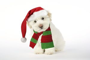 DOG - Coton de Tulear puppy ( 8 wks old ) wearing Christmas hat & scarf.
