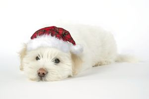 DOG - Coton de Tulear puppy (8 wks old) wearing tartan cap