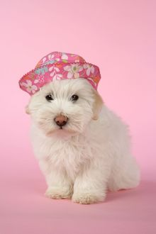 puppies/dog coton tulear puppy 8 wks old wearing pink