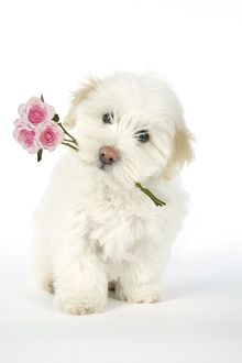 DOG. Coton de Tulear puppy ( 8 wks old ) holding roses in mouth
