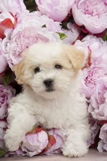 Dog - Coton de Tulear puppy - in amongst flowers