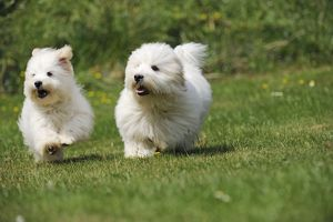 Dog - Coton de Tulear - running next to each other in the garden