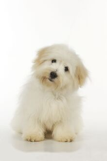 Dog - Coton de Tulear - sitting down